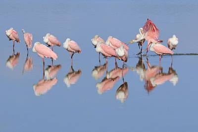Photograph - Roseate Spoonbills And Reflections by Bradford Martin