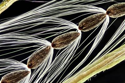 Rosebay Willowherb Seeds Art Print by Gerd Guenther/science Photo Library