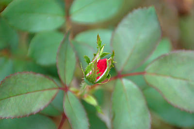 Photograph - Rosebud by Aimee L Maher Photography and Art Visit ALMGallerydotcom