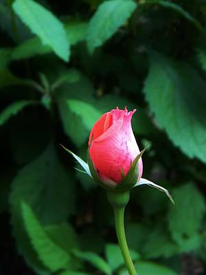 Photograph - Rosebud by Jean Goodwin Brooks