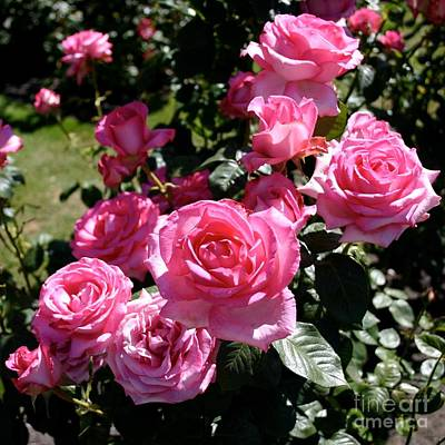 Photograph - Rosebush In Christchurch by Barbie Corbett-Newmin
