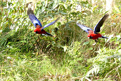 Photograph - Rosellas In Flight by David Rich