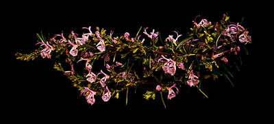 Photograph - Rosemary Crown Of Thorns by Weston Westmoreland