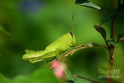 Photograph - Rosemary Grasshopper - Instar Nymph by Kathy Baccari