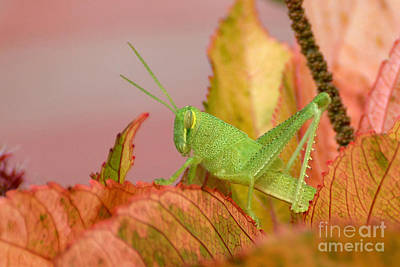 Photograph - Rosemary Grasshopper Nymph by Kathy Baccari