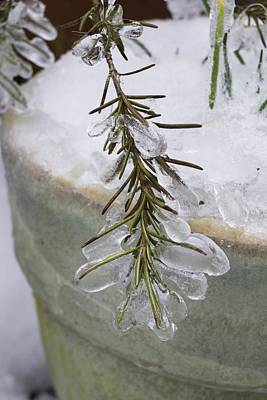 Photograph - Rosemary Ice by MM Anderson