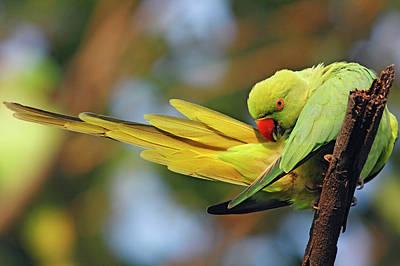 Roseringed Parakeet Preening,keoladeo Print by Jagdeep Rajput