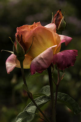 Photograph - Roses 4 by Jean-Jacques Thebault