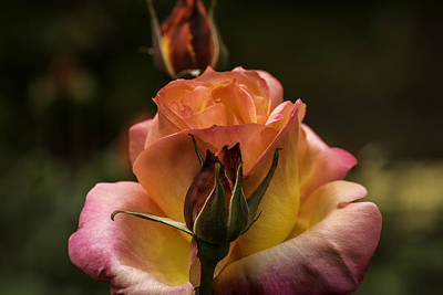 Photograph - Roses 5 by Jean-Jacques Thebault