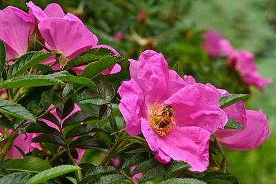 Photograph - Roses And Honey Bee Close Up by Byron Varvarigos