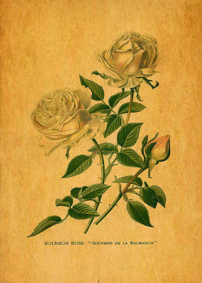 Roses Are Golden Print by Sarah Vernon