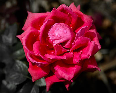 Photograph - Roses Are Red by John Brink