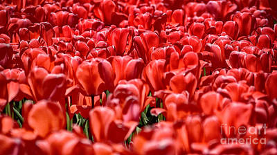 Photograph - Tulips At The Plaza Hotel by Mark Thomas