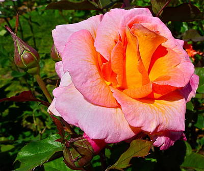 Photograph - Roses In Bloom And In Bud by Denise Mazzocco