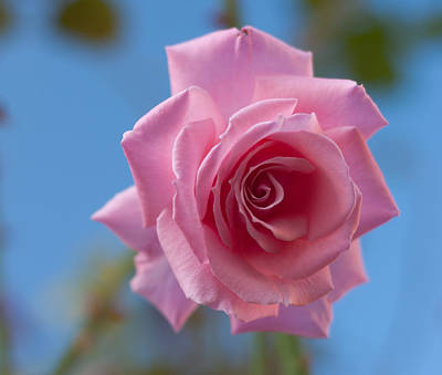 Photograph - Roses In The Sky by Miguel Winterpacht