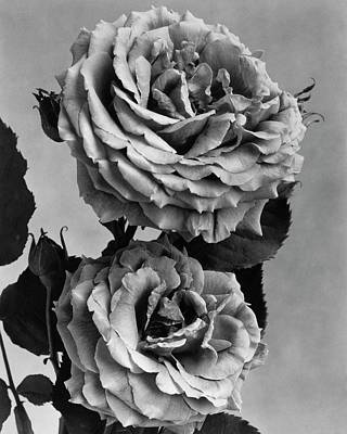 Dickson Photograph - Roses by J. Horace McFarland