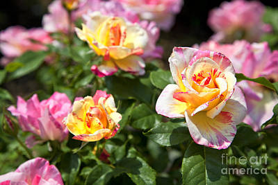 Photograph - Roses by Jill Lang