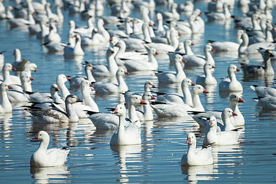 Ross's And Snow Geese In Freshwater Print by Maresa Pryor