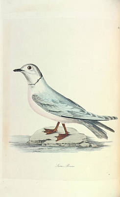 1874 Photograph - Ross's Gull by Natural History Museum, London
