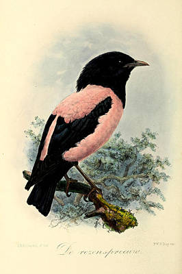 Starlings Wall Art - Painting - Rosy Starling by Dreyer Wildlife Print Collections