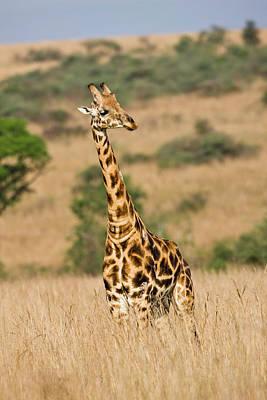Uganda Photograph - Rothschild Giraffe (giraffa by Martin Zwick
