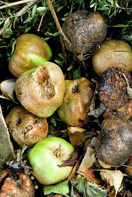 Apple Photograph - Rotting Apples by Mark Williamson