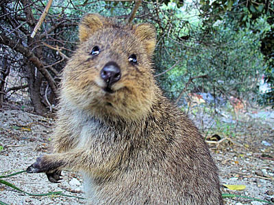 Photograph - Rottnest Quokka by David Rich