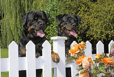 Rottweilers Looking Over Fence Print by John Daniels