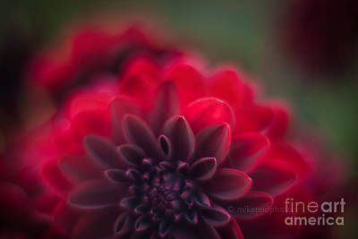 Poetic Photograph - Rouge Dahlia by Mike Reid
