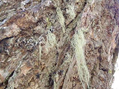 Digital Art - Rough Bark And Spanish Moss by Linda Whiteside