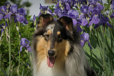 Rough Collie By Iris Flower Bed Art Print