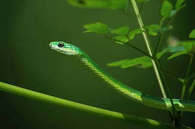 Reptiles Photograph - Rough Green Snake (opheodrys Aestivus by Pete Oxford