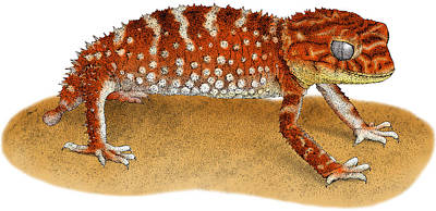 Rough Knob Tailed Gecko Art Print