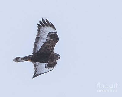 Photograph - Rough-legged Hawk 3 by Ronald Grogan