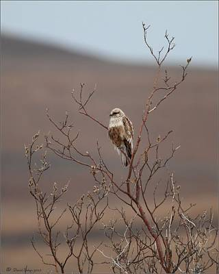 Popstar And Musician Paintings Royalty Free Images - Rough Legged Hawk Royalty-Free Image by Daniel Behm