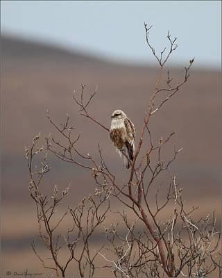 Photograph - Rough Legged Hawk by Daniel Behm