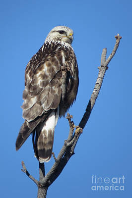 Photograph - Rough-legged Hawk by Frank Townsley