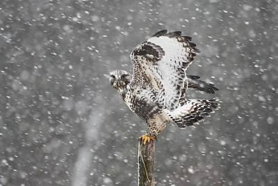 Rough-legged Hawk In The Snow Original