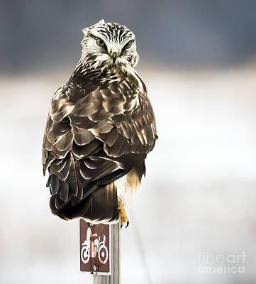 Photograph - Rough-legged Hawk With The Death Stare by Ricky L Jones