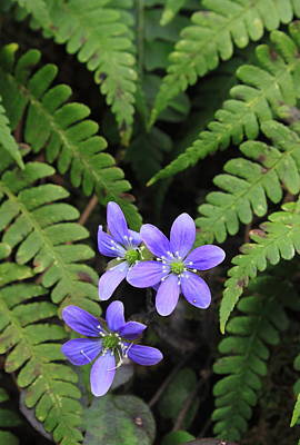 Photograph - Round Lobed Hepatica Wildflower And Ferns by John Burk