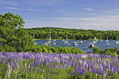 Photograph - Round Pond Lupine Flowers On The Coast Of Maine by Keith Webber Jr