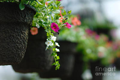Row Of Hanging Baskets Shallow Dof Print by Amy Cicconi