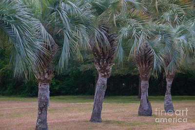 Digital Art - Row Of Pindo Palms by Dale Powell
