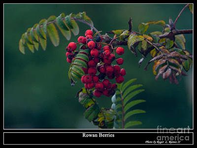 Digital Art - Rowan Berries by Tikvah's Hope