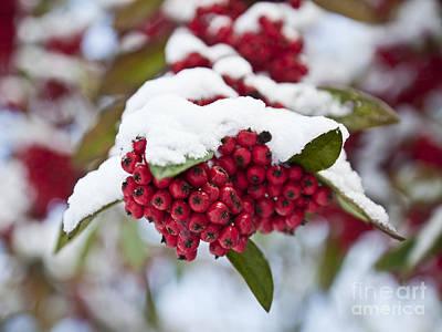 Berry Photograph - Rowan Berries Under Snow by Liz Leyden
