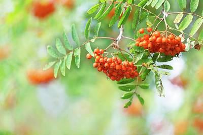 Rowan Tree Photograph - Rowan Berries by Wladimir Bulgar