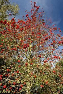 Rowan Tree Photograph - Rowan (sorbus Aucuparia) Tree In Fruit by Bob Gibbons