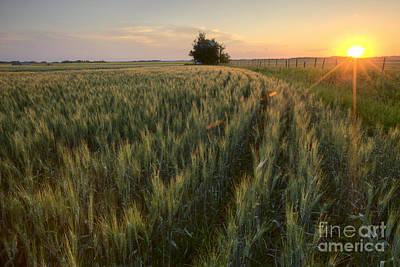 Alberta Landscape Photograph - Rows Of Barley At Sunset by Dan Jurak