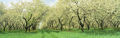 Large Group Of Objects Photograph - Rows Of Cherry Tress In An Orchard by Panoramic Images