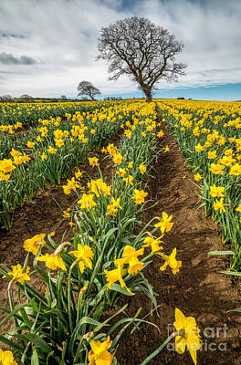 Row Digital Art - Rows Of Daffodils by Adrian Evans